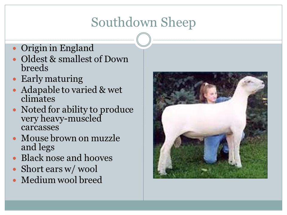 Southdown Sheep Origin in England Oldest & smallest of Down breeds