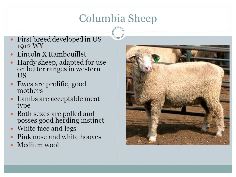 Columbia Sheep First breed developed in US 1912 WY