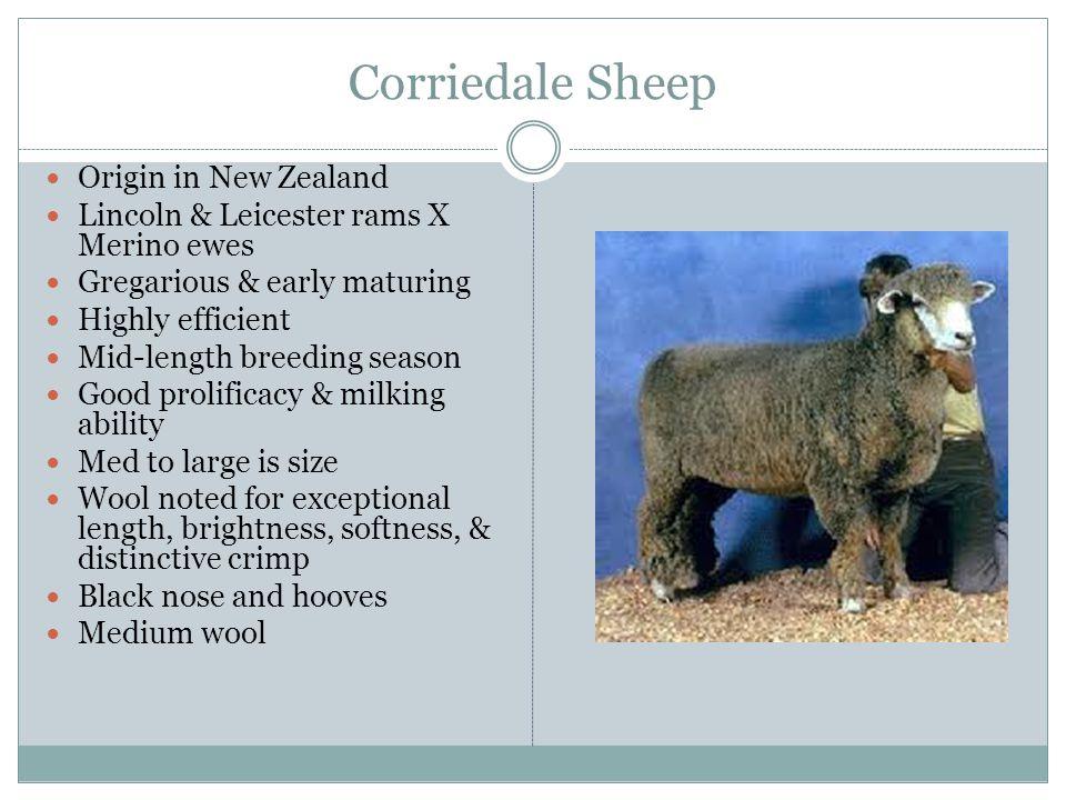 Corriedale Sheep Origin in New Zealand