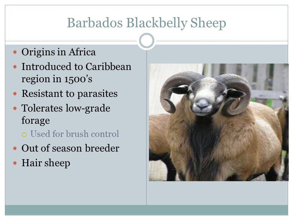 Barbados Blackbelly Sheep