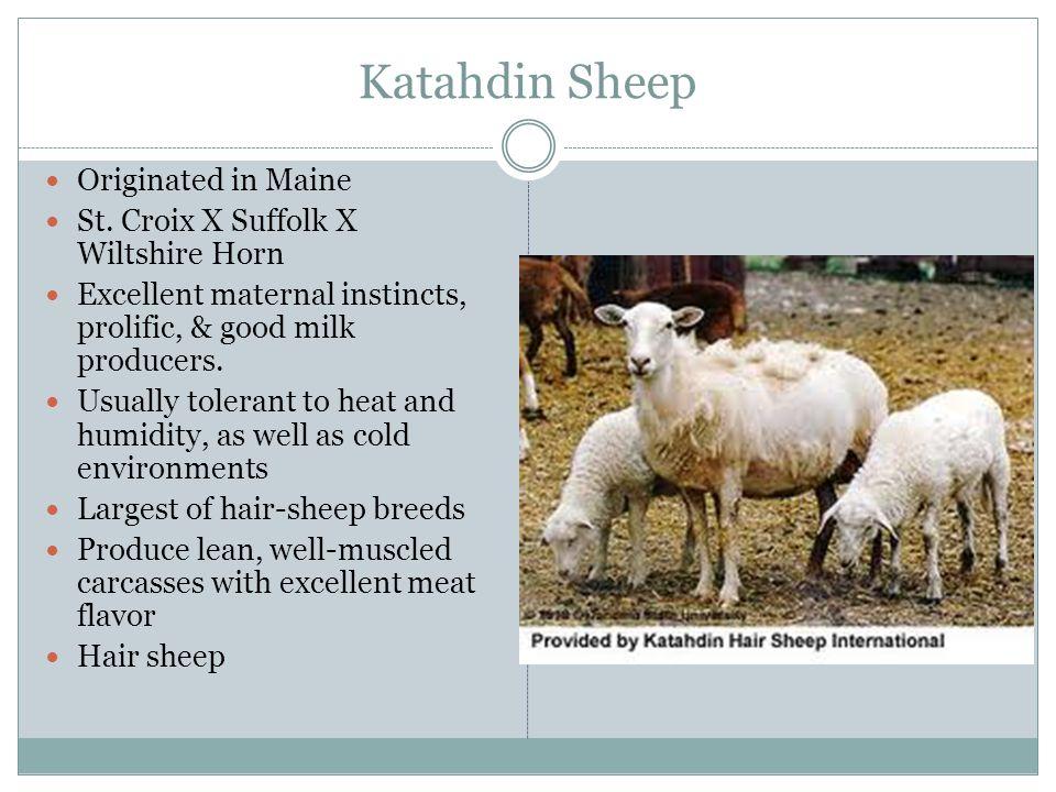 Katahdin Sheep Originated in Maine