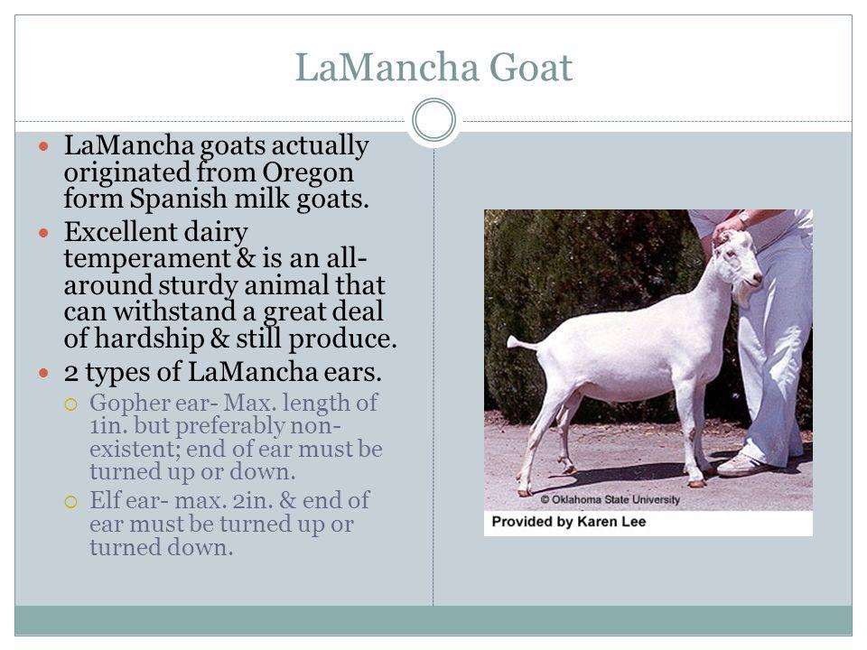 LaMancha Goat LaMancha goats actually originated from Oregon form Spanish milk goats.