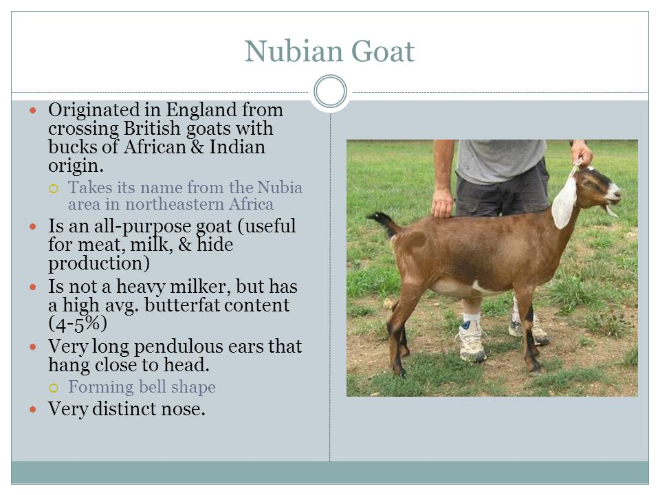 Nubian Goat Originated in England from crossing British goats with bucks of African & Indian origin.
