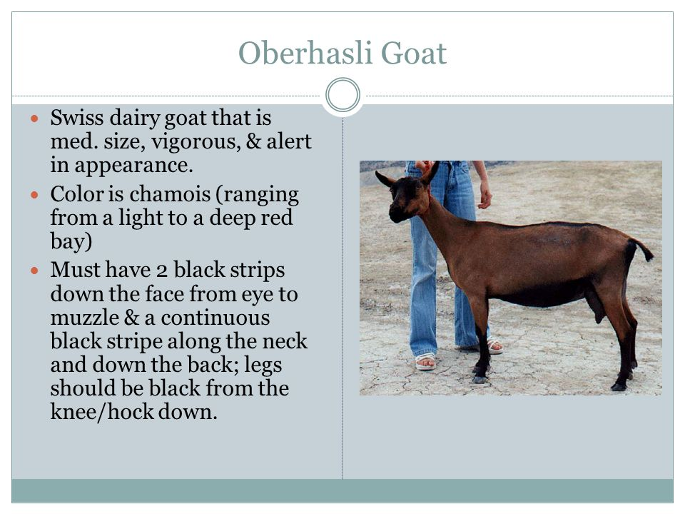 Oberhasli Goat Swiss dairy goat that is med. size, vigorous, & alert in appearance. Color is chamois (ranging from a light to a deep red bay)