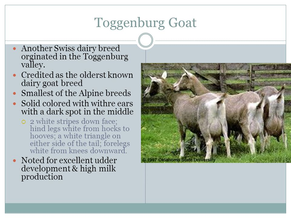 Toggenburg Goat Another Swiss dairy breed orginated in the Toggenburg valley. Credited as the olderst known dairy goat breed.