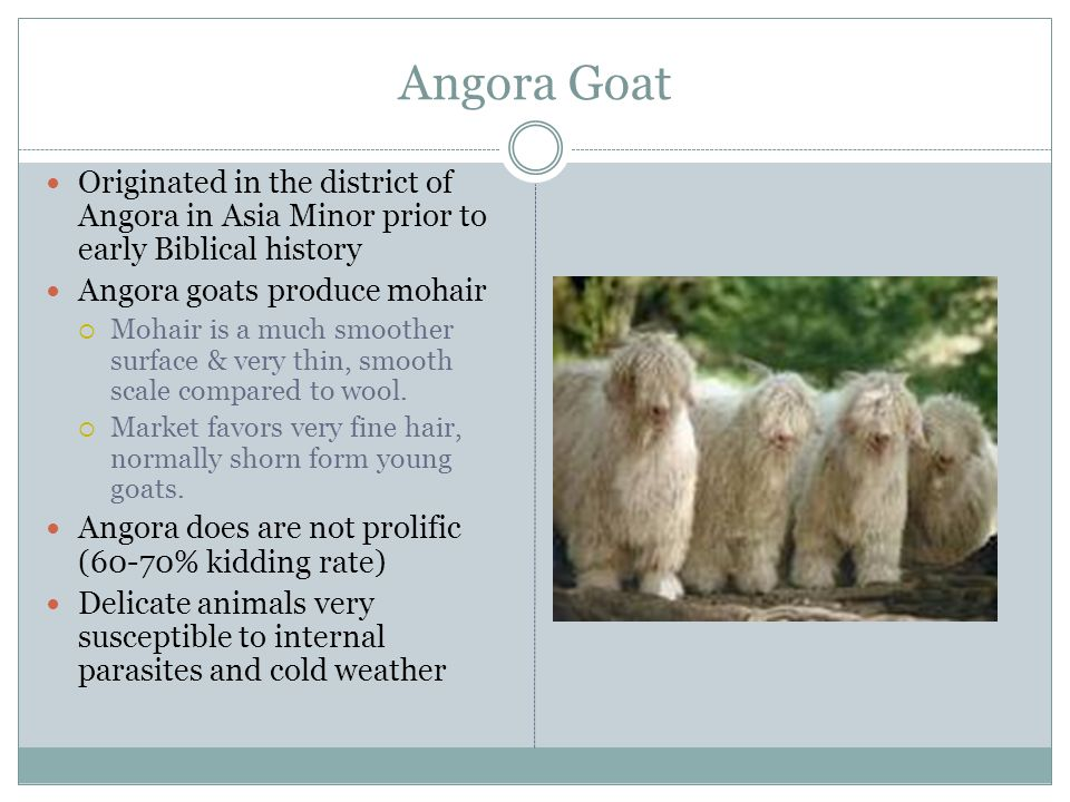 Angora Goat Originated in the district of Angora in Asia Minor prior to early Biblical history. Angora goats produce mohair.