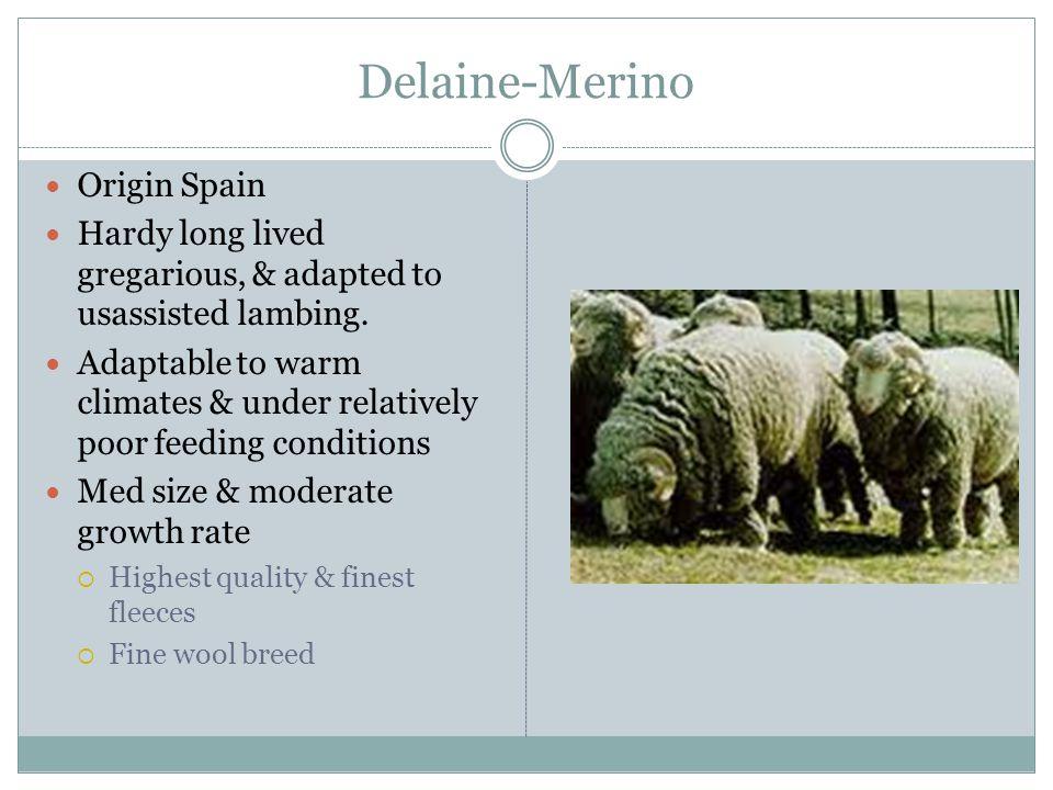 Delaine-Merino Origin Spain