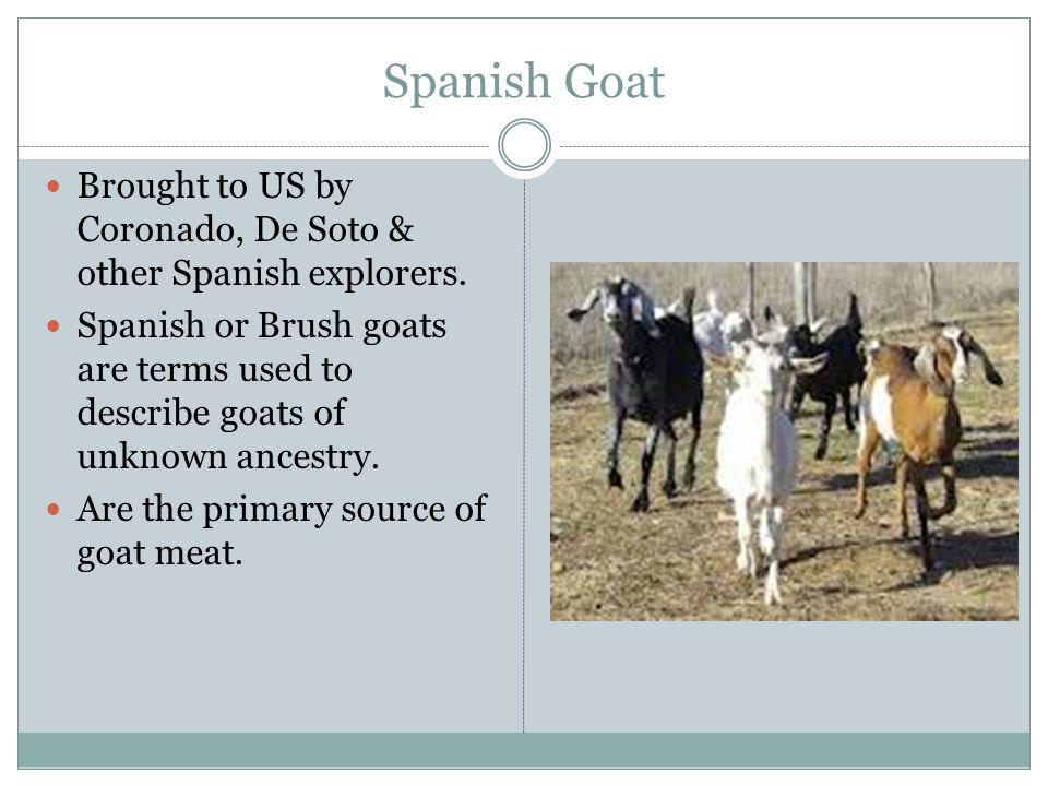 Spanish Goat Brought to US by Coronado, De Soto & other Spanish explorers.