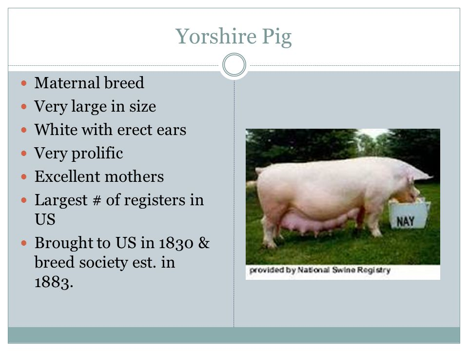 Yorshire Pig Maternal breed Very large in size White with erect ears