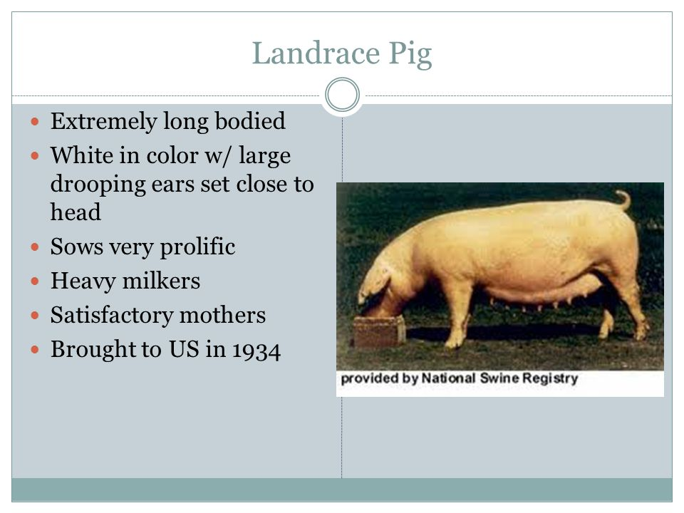 Landrace Pig Extremely long bodied