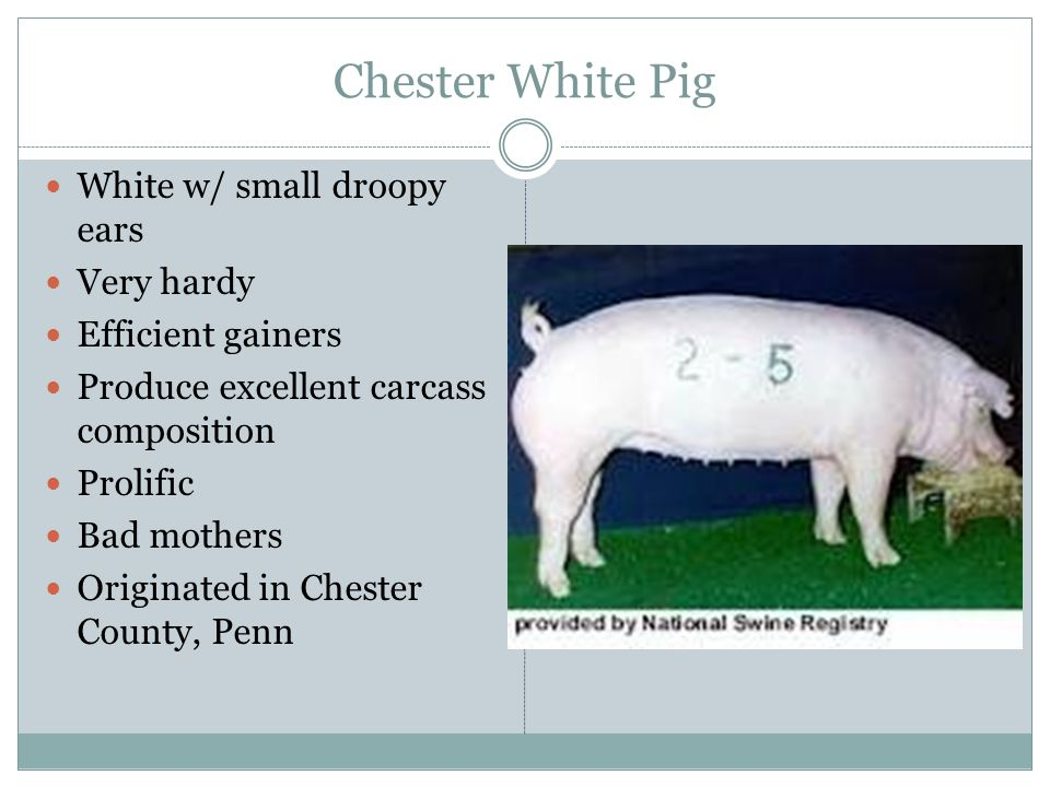 Chester White Pig White w/ small droopy ears Very hardy