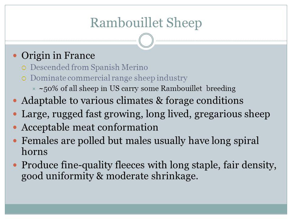 Rambouillet Sheep Origin in France