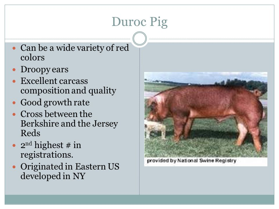 Duroc Pig Can be a wide variety of red colors Droopy ears