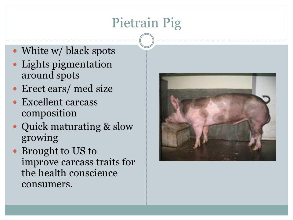 Pietrain Pig White w/ black spots Lights pigmentation around spots
