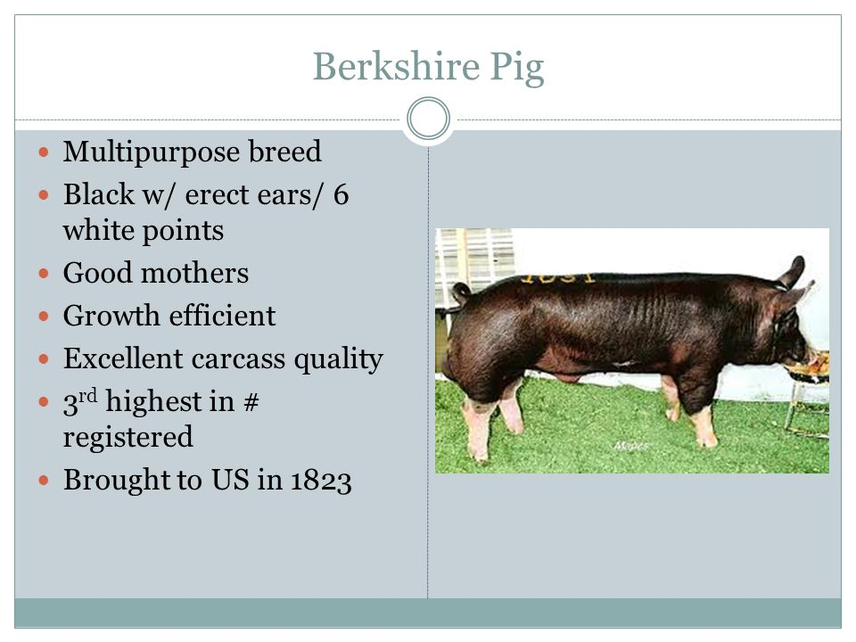 Berkshire Pig Multipurpose breed Black w/ erect ears/ 6 white points