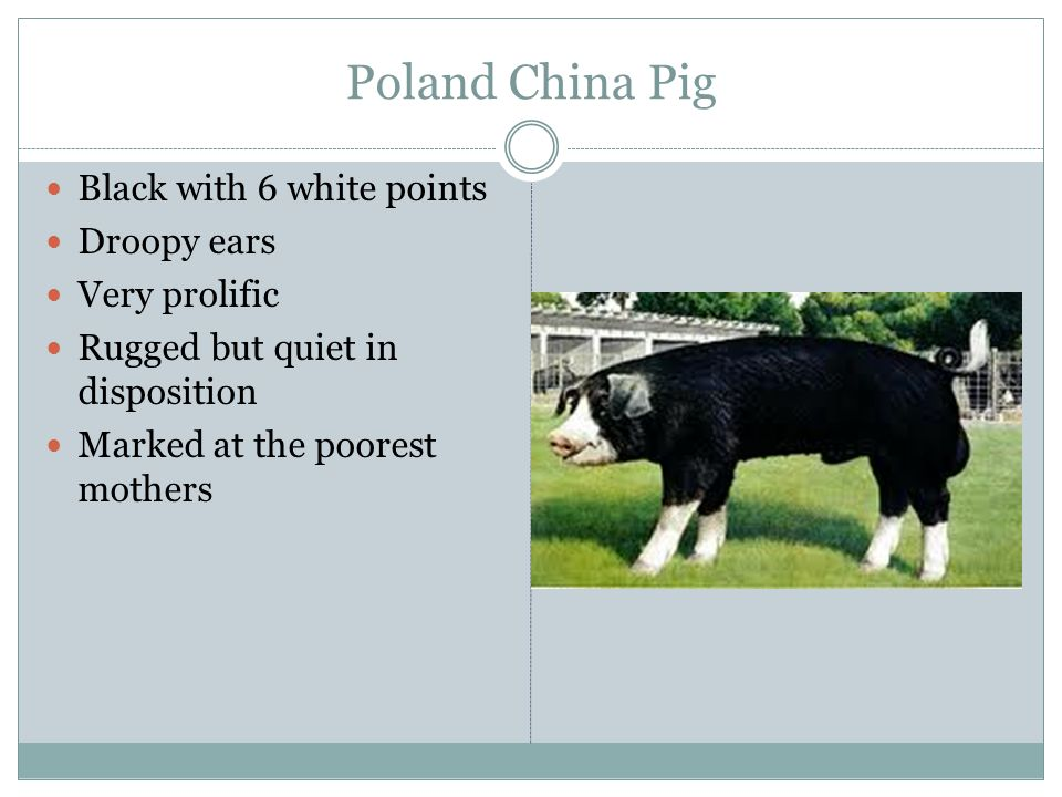 Poland China Pig Black with 6 white points Droopy ears Very prolific
