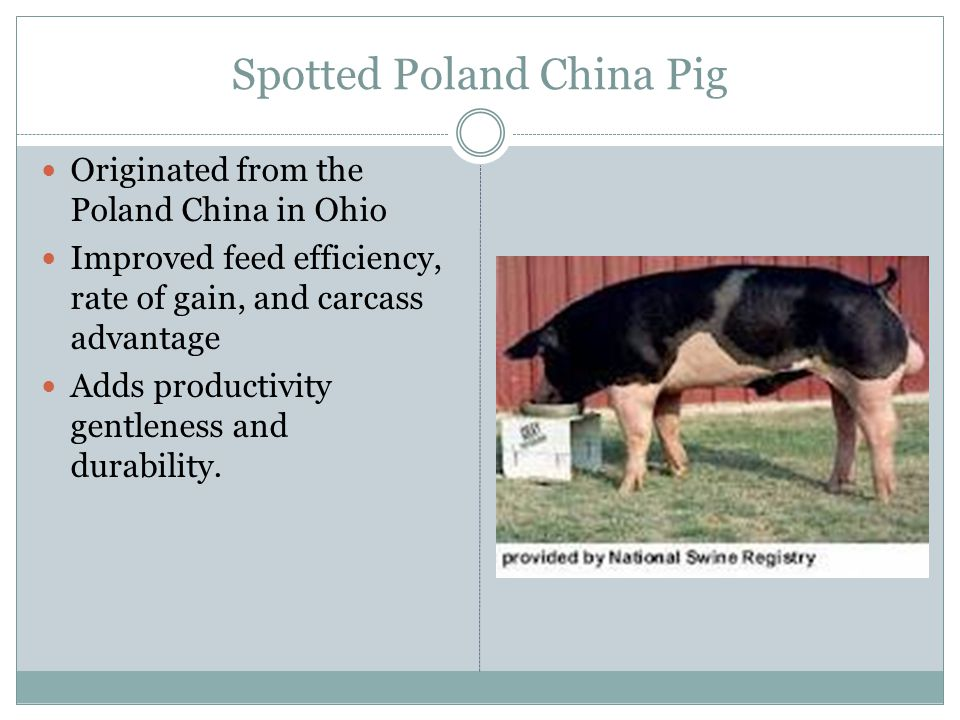 Spotted Poland China Pig