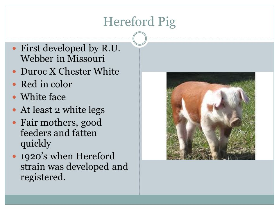 Hereford Pig First developed by R.U. Webber in Missouri