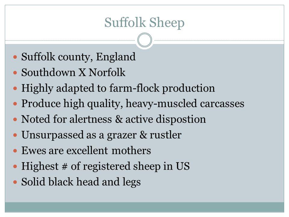 Suffolk Sheep Suffolk county, England Southdown X Norfolk