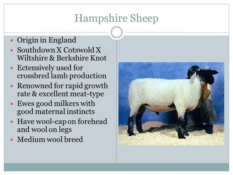 Hampshire Sheep Origin in England
