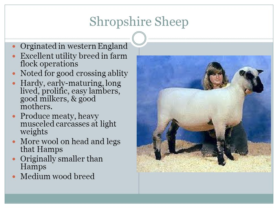 Shropshire Sheep Orginated in western England