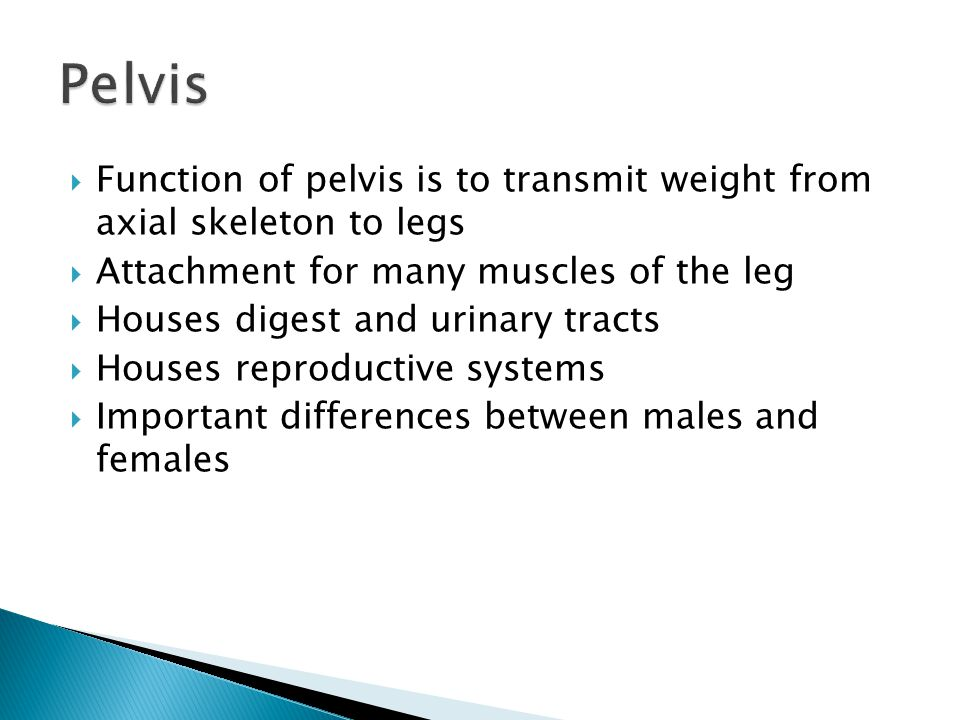 Pelvis Function of pelvis is to transmit weight from axial skeleton to legs. Attachment for many muscles of the leg.