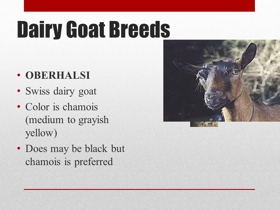 Dairy Goat Breeds OBERHALSI Swiss dairy goat