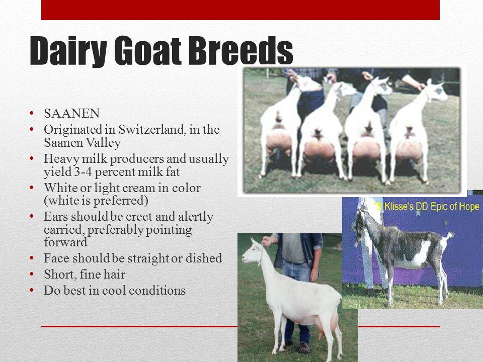 Dairy Goat Breeds SAANEN