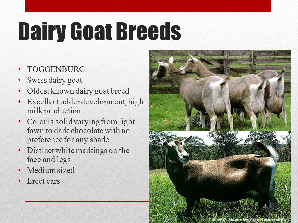 Dairy Goat Breeds TOGGENBURG Swiss dairy goat
