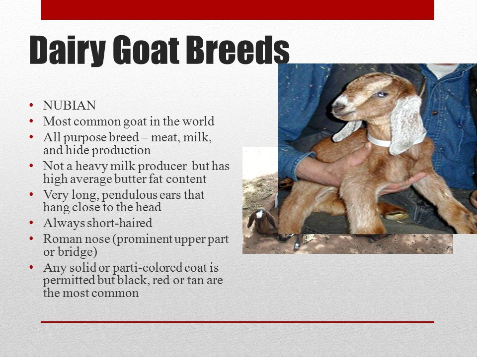 Dairy Goat Breeds NUBIAN Most common goat in the world
