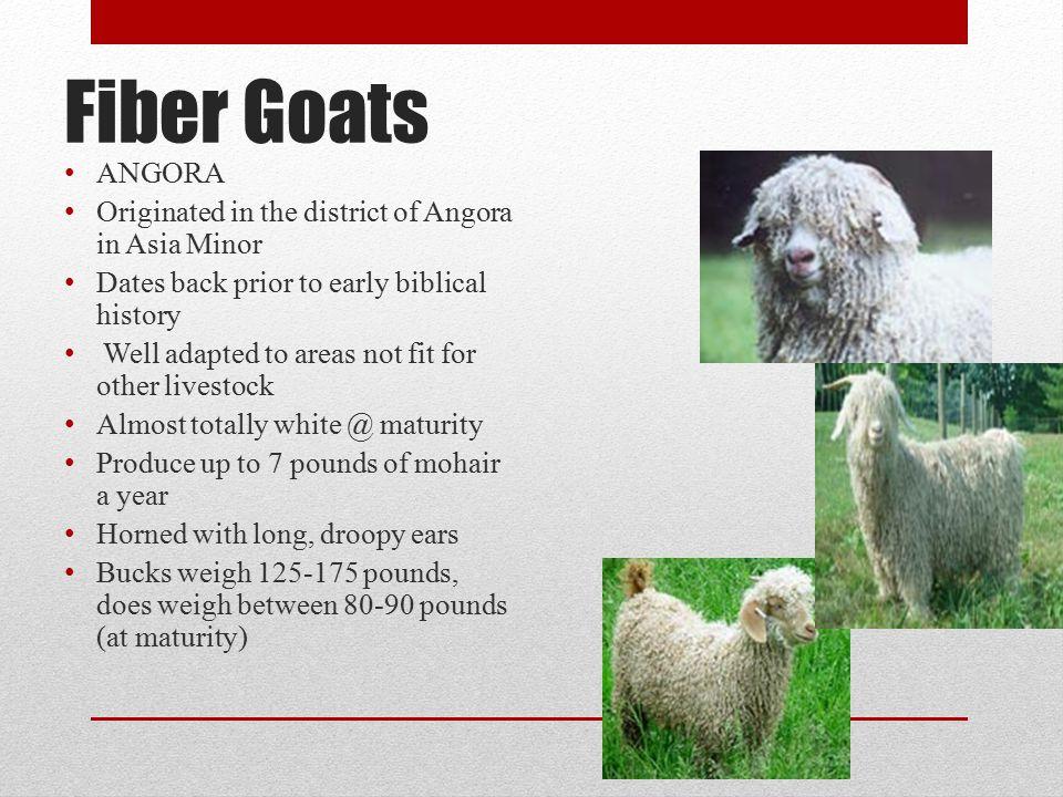 Fiber Goats ANGORA Originated in the district of Angora in Asia Minor