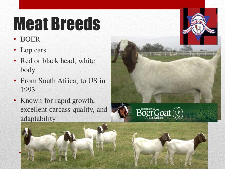 Meat Breeds BOER Lop ears Red or black head, white body