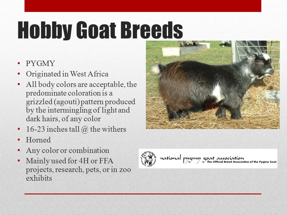 Hobby Goat Breeds PYGMY Originated in West Africa