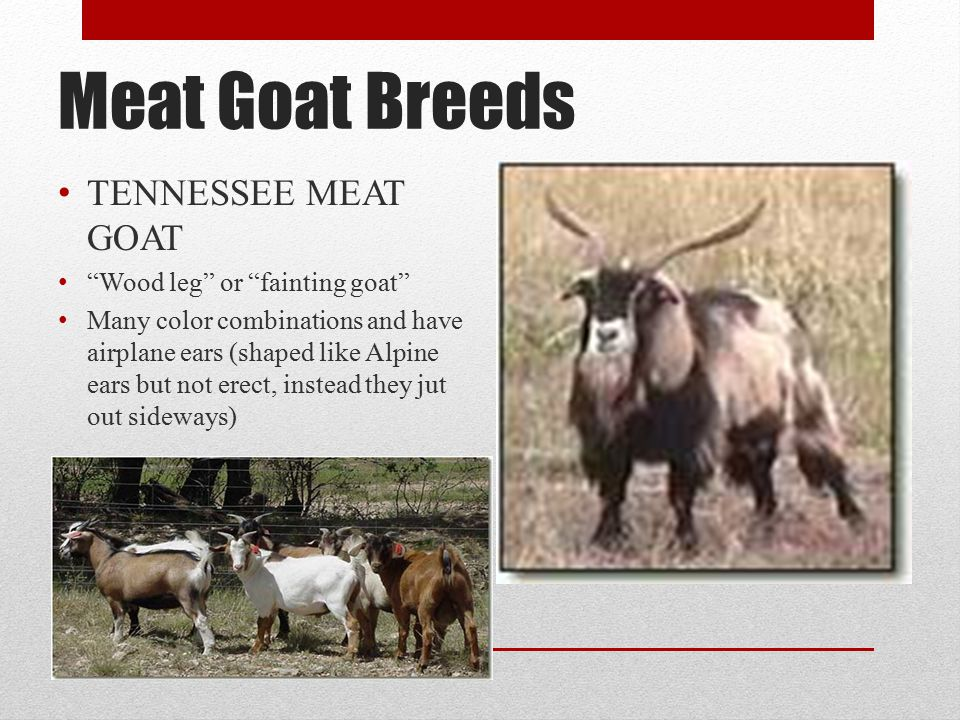 Meat Goat Breeds TENNESSEE MEAT GOAT Wood leg or fainting goat