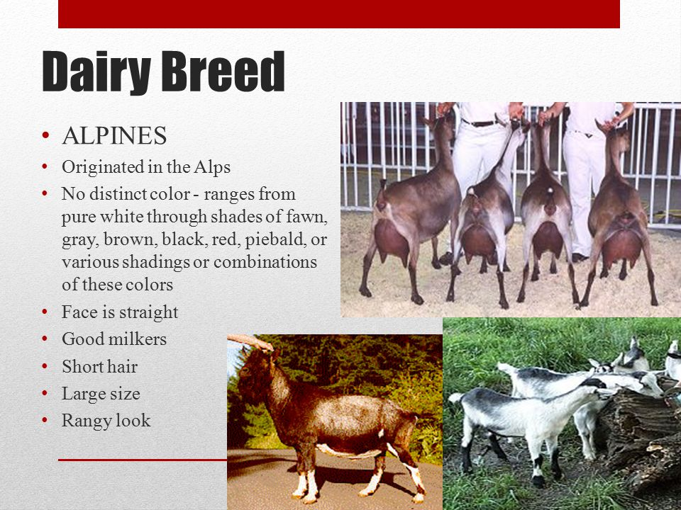 Dairy Breed ALPINES Originated in the Alps
