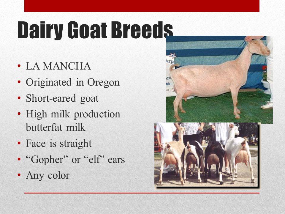 Dairy Goat Breeds LA MANCHA Originated in Oregon Short-eared goat