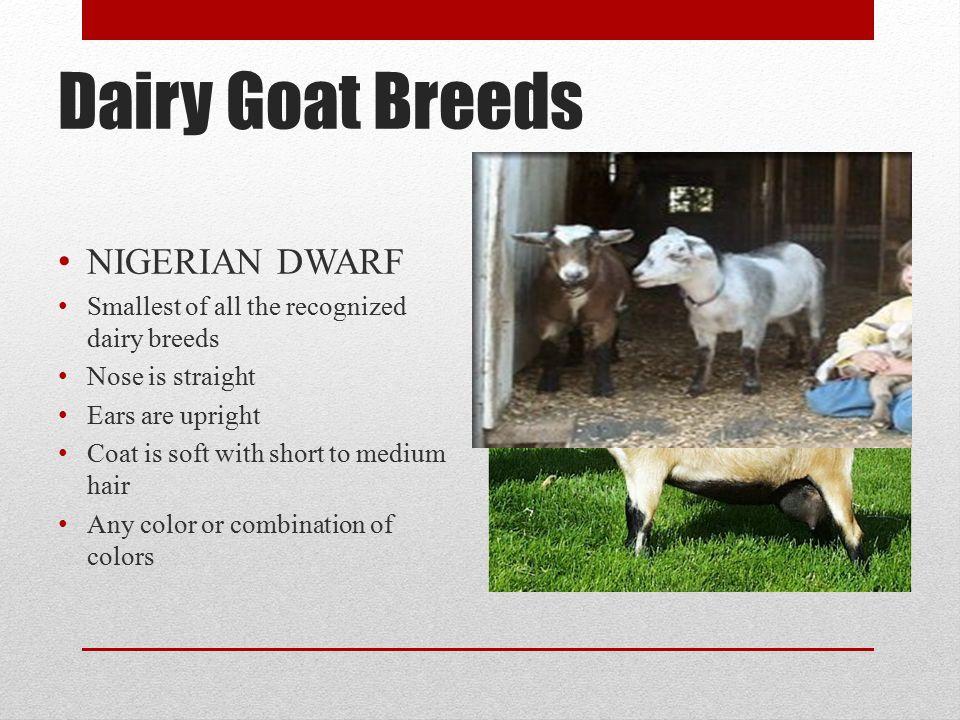 Dairy Goat Breeds NIGERIAN DWARF