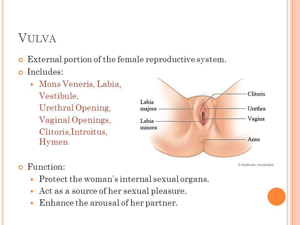 Vulva External portion of the female reproductive system. Includes: