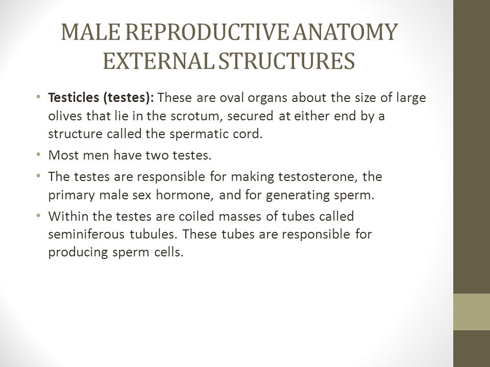 MALE REPRODUCTIVE ANATOMY EXTERNAL STRUCTURES