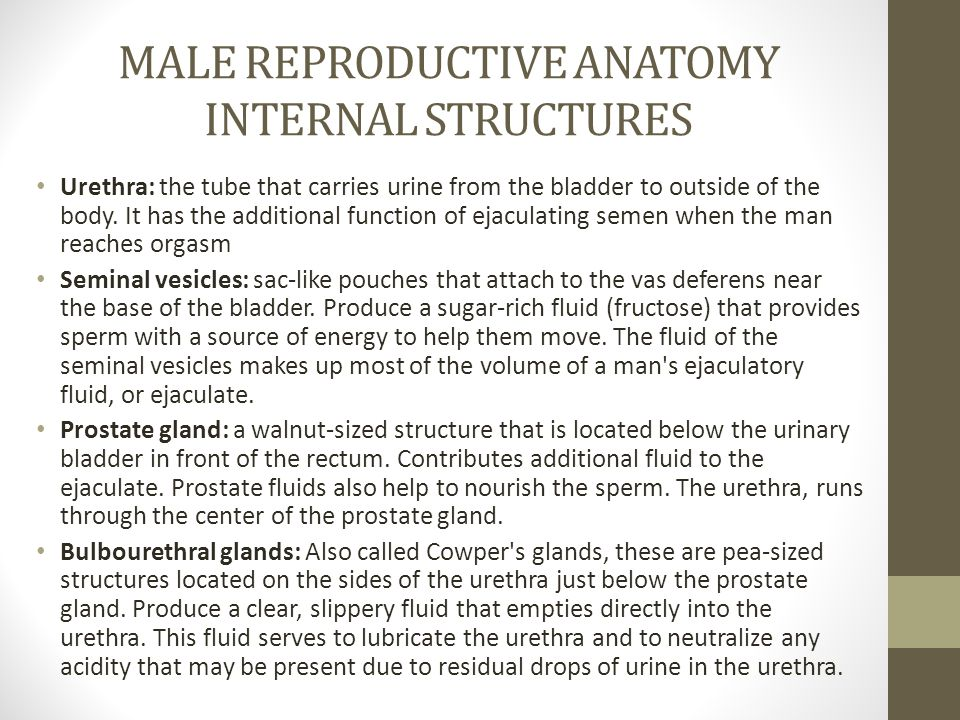 MALE REPRODUCTIVE ANATOMY INTERNAL STRUCTURES