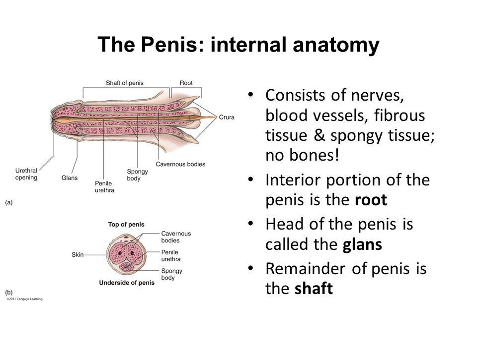 The Penis: internal anatomy