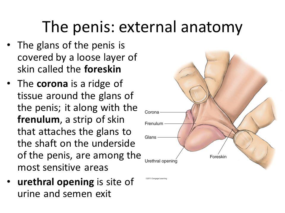 Uncircumcised penis anatomy