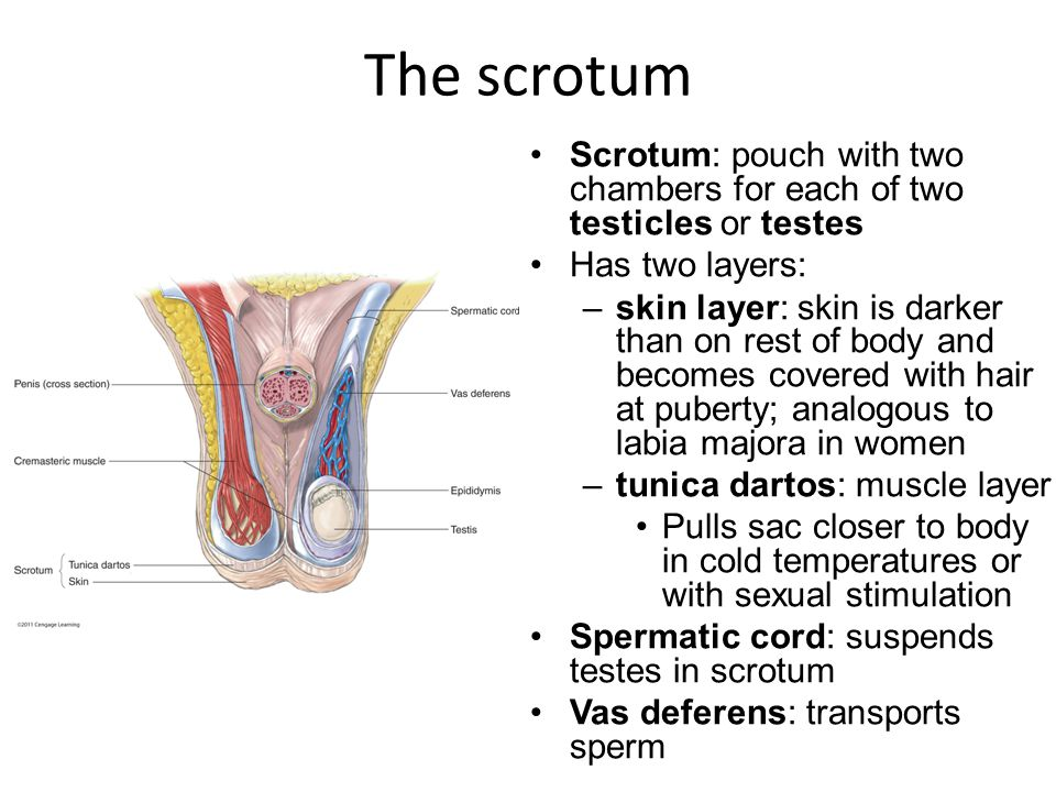 The scrotum Scrotum: pouch with two chambers for each of two testicles or testes. Has two layers: