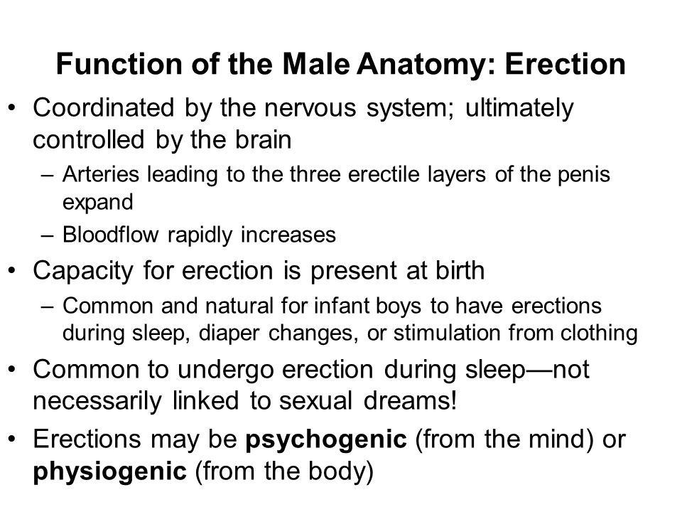 Function of the Male Anatomy: Erection