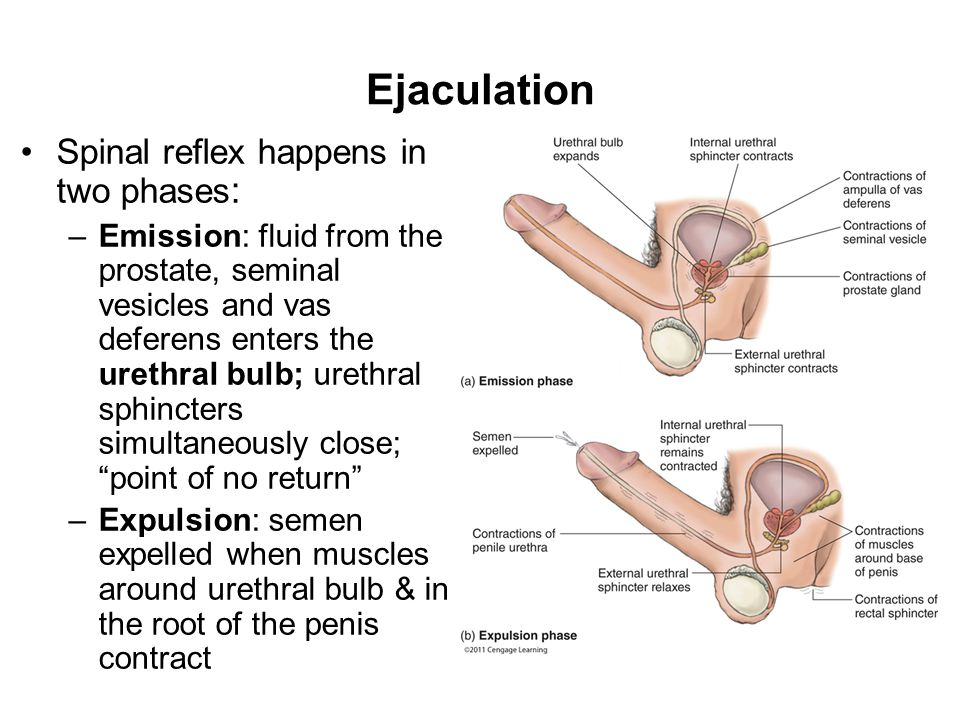 Ejaculation Spinal reflex happens in two phases: