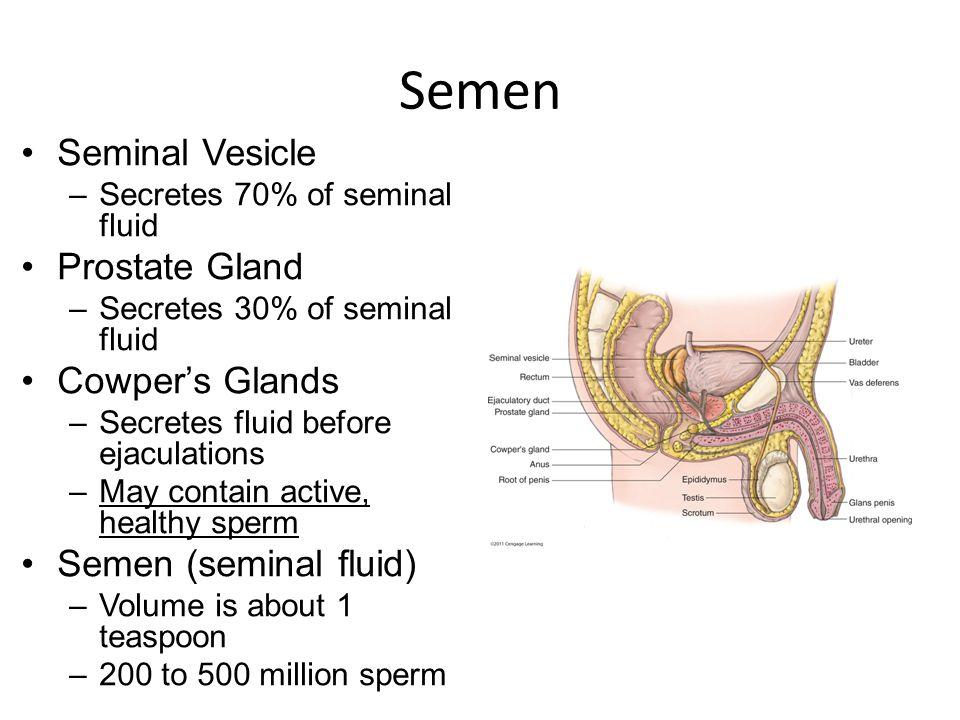 Semen Seminal Vesicle Prostate Gland Cowper's Glands