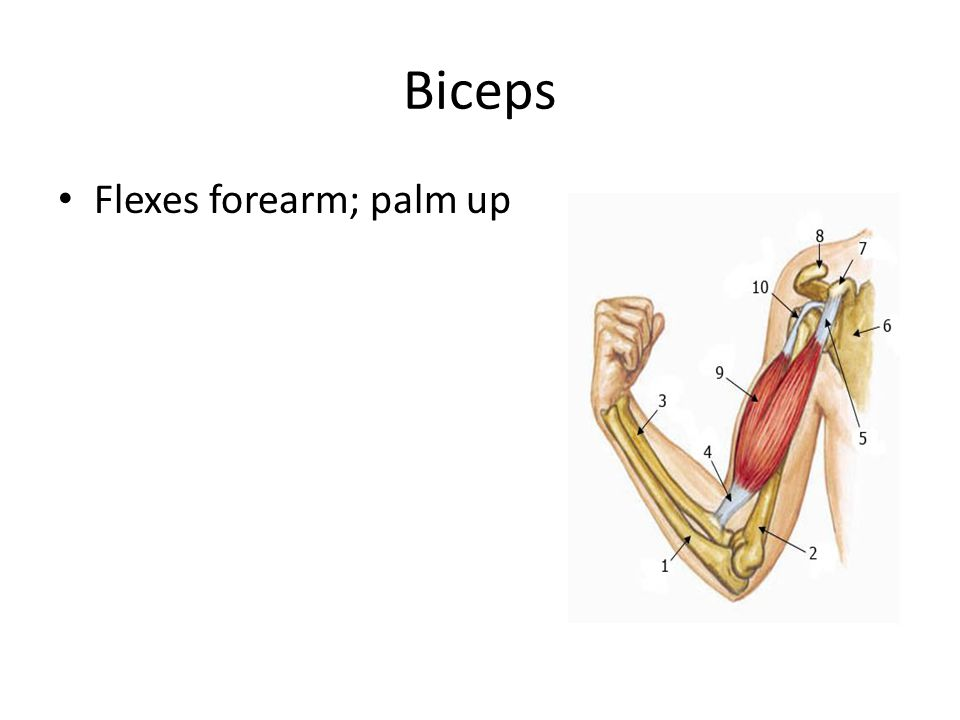 Biceps Flexes forearm; palm up