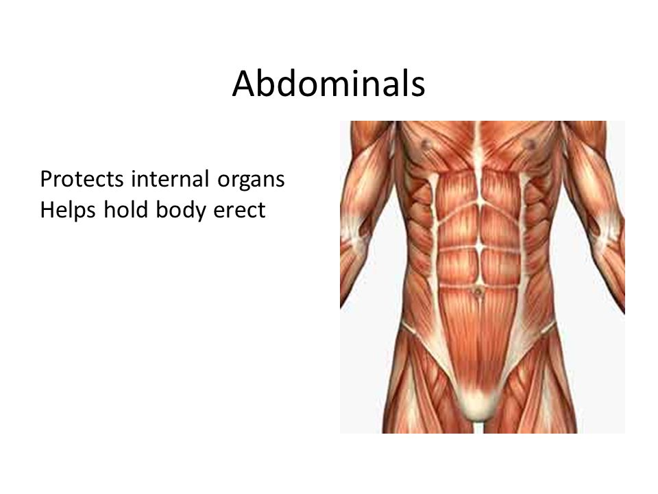 Abdominals Protects internal organs Helps hold body erect