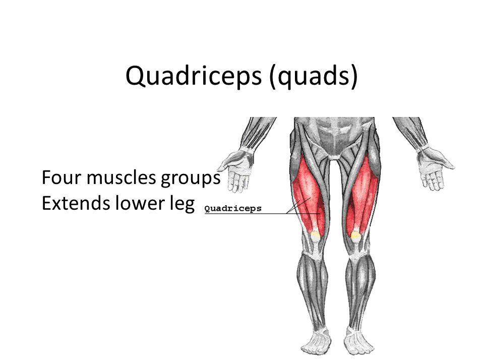 Quadriceps (quads) Four muscles groups Extends lower leg