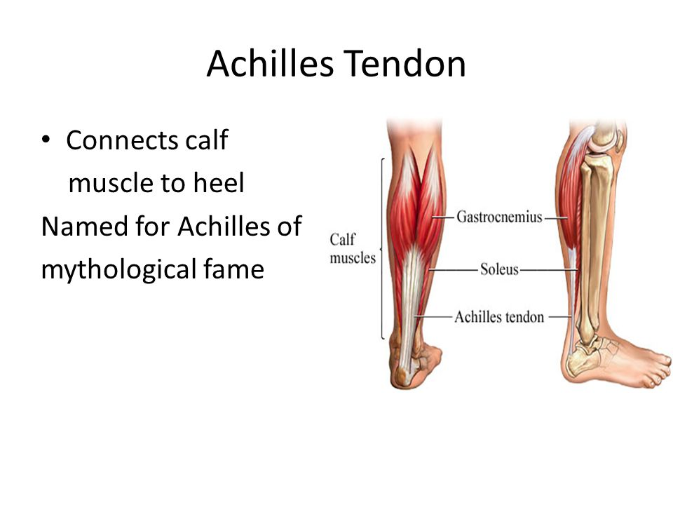 Achilles Tendon Connects calf muscle to heel Named for Achilles of